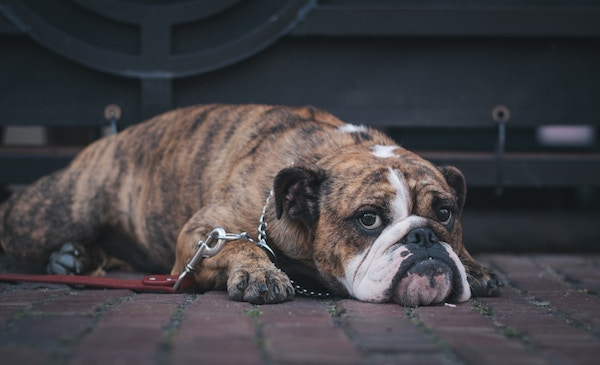 salt toxicity in dogs